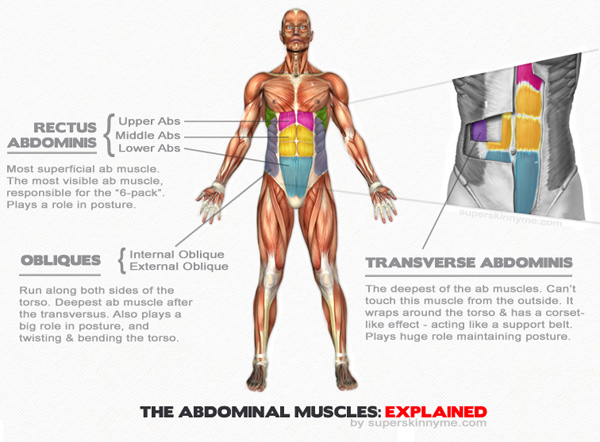 Abdominal muscles chart